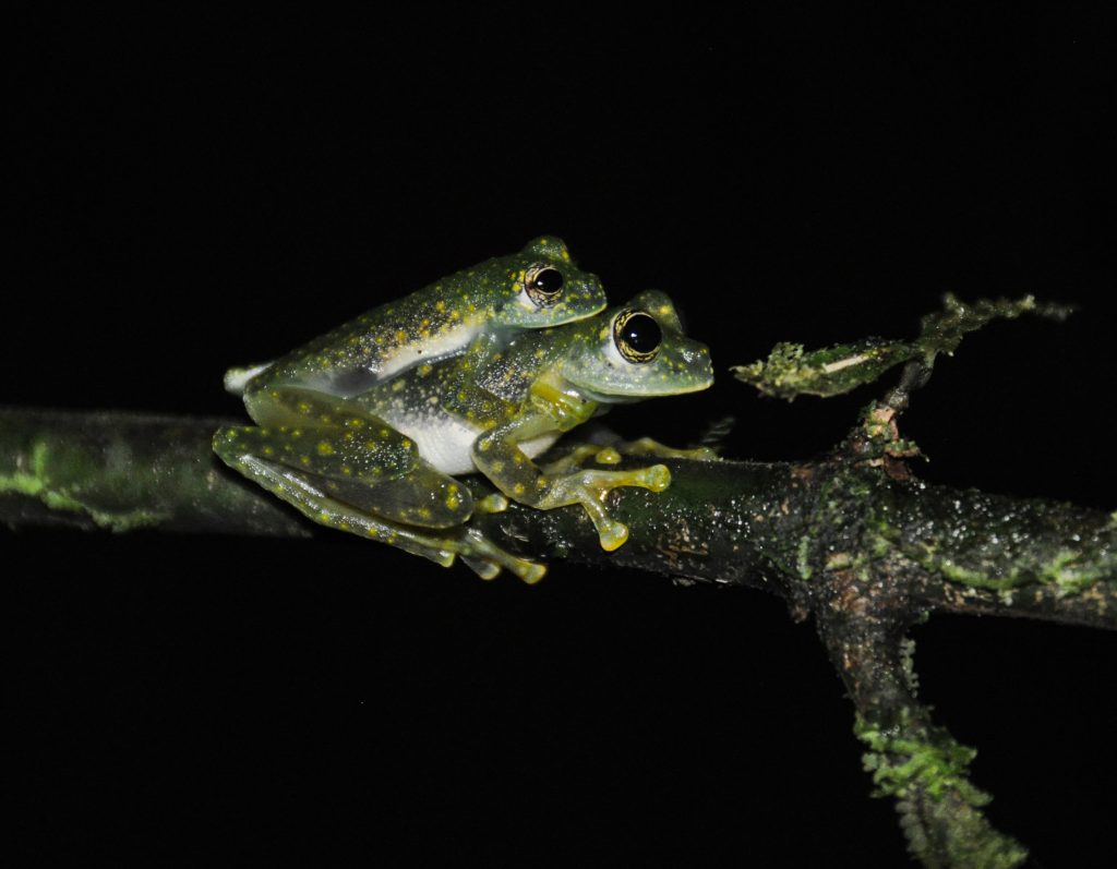 Sachatamia albomaculata in amplexus at the Costa Rican Amphibian Research Center (2017)