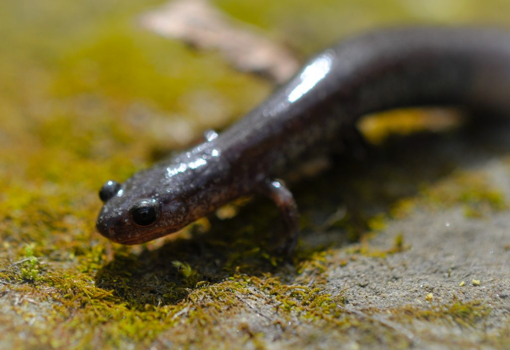 Adult female Plethodon electromorphus.