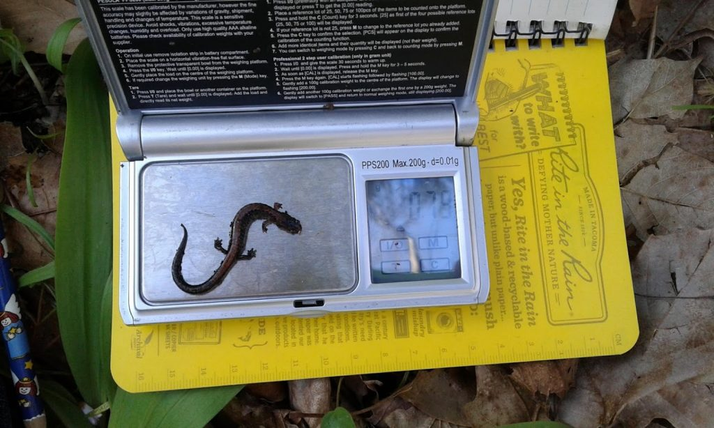 Red-backed salamander being weighed